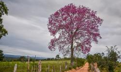 Imagem do dia: Ipê roxo na comunidade de Alto do Coqueiro em Serrolândia