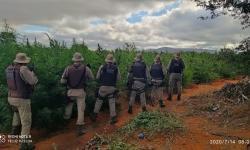 Polícia Militar encontra plantação com 200 mil pés de maconha em Mirangaba