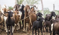 Agricultura familiar baiana lidera ranking nacional da produção de caprinos