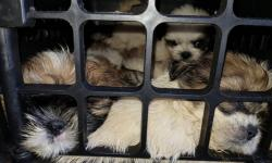 Mais de 30 filhotes de shih-tzu apreendidos após serem achados em porta-malas de carro na BA morreram