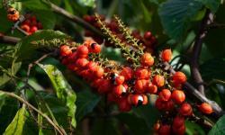 Guaraná produzido pela agricultura familiar baiana conquista mercados nacional e internacional