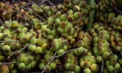 Licuri da Bahia é um dos ingredientes de destaque em reality de gastronomia na TV