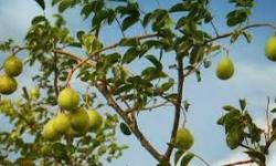 Umbu - Fruta do nordeste