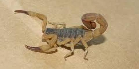 Venenosos, escorpiões se reproduzem com maior intensidade no verão