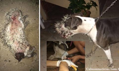 Porco-espinho aparece em quintal no centro da cidade e causa danos em cães.