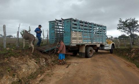 Polícia Rodoviária Estadual recolhe mais animais nas estradas de Mairi e Várzea da Roça