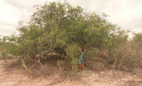 Em meio a seca severa na Bahia, produtores rurais buscam técnicas alternativas para manter cultivos