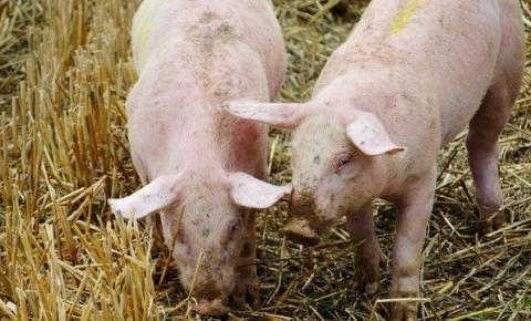 Vírus que infecta porcos na China é encontrado em humanos no Brasil
