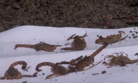 Cidade da Bahia tem 176 casos de ataques de escorpiões no ano