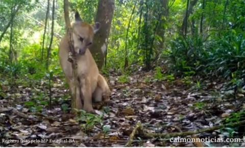 Felino é registrado por câmeras no Parque Estadual das Sete Passagens em MIguel Calmon-BA