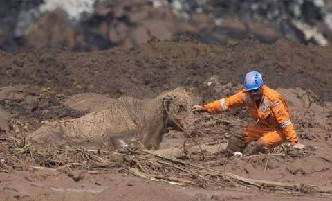 Atoladas na lama, vacas são sacrificadas em Brumadinho