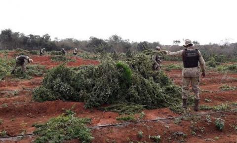 Polícia localiza 250 mil pés de maconha no interior da Bahia; suspeito morre na ação
