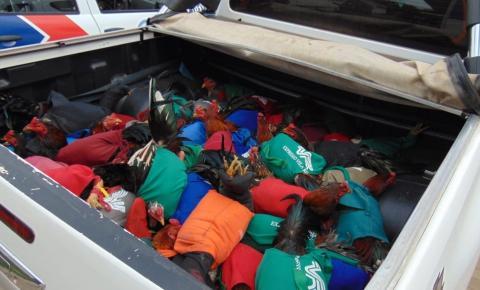 Polícia da BA aguarda decisão judicial sobre sacrifício de 200 galos apreendidos em rinha