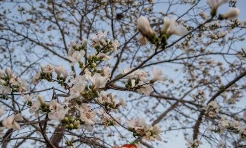 Paineira Branca em Serrolândia está com seus dias de vida contados