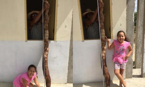 Agricultor colhe raiz de mandioca com 1,90 metro em Serrolândia