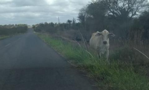 Animais vagam nas margens da na BA 417 região da Faz. Caraíba entre Serrolândia e Várzea do Poço.
