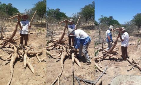 Em Serrolândia lavrador colhe mandioca gigante e raiz vira atração no interior da Bahia