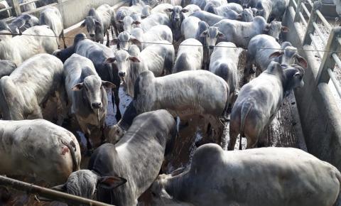Etapa do Circuito Nelore de Qualidade na Bahia avalia mais de 400 animais