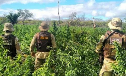 Maconha avaliada em R$ 6 milhões é erradicada no interior da Bahia