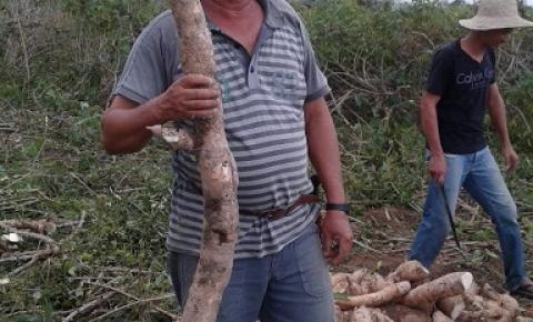 Agricultor colhe mandioca de 2,1 metros em Queimada Velha de Jacobina