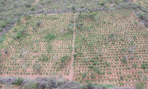 Operação conjunta localiza mais 78 mil pés de maconha em cidades do norte da Bahia