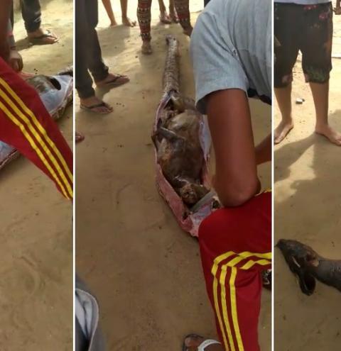 Caçador mata jiboia de 3.2 metros em Morro do Chapéu e encontra veado na barriga. O mesmo responderá por crime ambiental